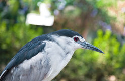 Black-crowned night heron. A night heron bird on a green background Stock Photo