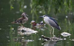 Black-crowned Night Heron Stock Photos