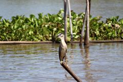 Black-crowned night heron bird perching on the top of dried bamboo in the river. stock image
