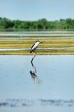 Black-crowned Night Heron bird Royalty Free Stock Photography