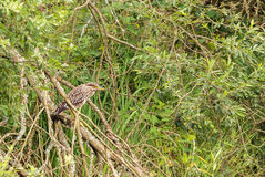 Black-crowned night heron bird stands on branch Stock Photography