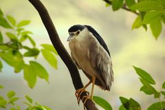 Black-crowned night heron. The black-crowned night heron, or black-capped night heron, commonly shortened to just night heron in Eurasia, is a medium-sized heron royalty free stock images