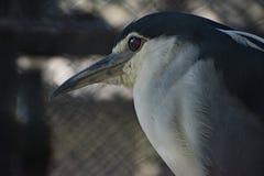 Black-crowned night heron. The black-crowned night heron, or black-capped night heron, commonly shortened to just night heron in Eurasia, is a medium-sized heron stock images