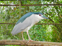 Black-crowned Night Heron on the Bough. Beautiful creature Black-crowned Night Heron on the Bough inside the cage Stock Photo