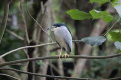 Black-crowned Night Heron in the branch royalty free stock photography