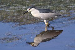 Black Crowned Night Heron in Calm Water. Black Crowned Night Heron looking for lunch in calm water in Chincoteague National Wildlife Refuge Stock Image