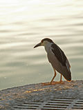 Black Crowned Night Heron Royalty Free Stock Photography
