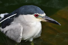 Black-crowned Night Heron close-up Stock Images