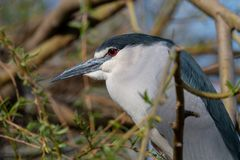 Black-crowned night heron close-up portrait royalty free stock photo