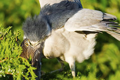 Black-crowned Night Heron Feeding Chick Royalty Free Stock Images