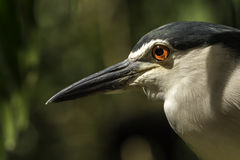 Black-crowned Night Heron. A fishing bird waiting for the fish.  KL bird park, Kuala Lumpur, Malaysia May 2016 Stock Photo