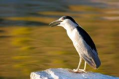 Black crowned night heron. Fishing at sunset stock photos