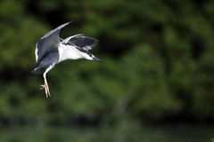 Black-Crowned Night Heron In Flight Royalty Free Stock Photography