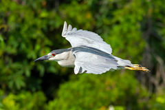 Black-crowned Night Heron Stock Photo