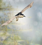 Black-crowned Night Heron Stock Images