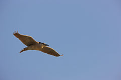 Black-crowned Night-Heron in flight Royalty Free Stock Photo