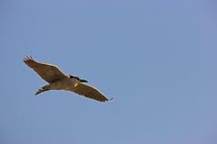 Black-crowned Night-Heron in flight. Black-crowned Night-Heron (Nycticorax nycticorax hoactli), adult in flight in clear blue sky Royalty Free Stock Photo
