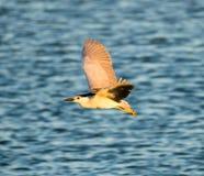 Black-Crowned Night-Heron in flight; Alviso, CA Royalty Free Stock Photos