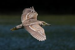 Black-Crowned Night-Heron in Flight. Over Water Stock Photos
