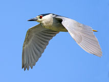 Black-crowned Night Heron in Flight Royalty Free Stock Images