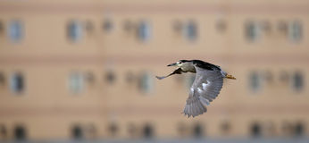 Black-crowned Night Heron in flight Stock Photography