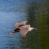 Black crowned night heron in flight stock photo