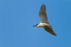 Black-crowned Night Heron flying Stock Photo