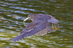 Black-crowned night-heron Stock Images