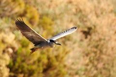 Black Crowned Night Heron Royalty Free Stock Photos