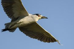 Black-Crowned Night Heron Flying in a Blue Sky Stock Photography