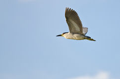 Black-Crowned Night-Heron Flying in a Blue Sky Royalty Free Stock Photography