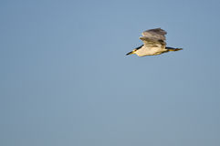 Black-Crowned Night Heron Flying in a Blue Sky Royalty Free Stock Photo
