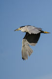 Black-Crowned Night-Heron Flying in a Blue Sky Stock Photos