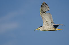 Black-Crowned Night-Heron Flying in a Blue Sky Royalty Free Stock Photo