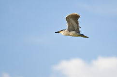 Black-Crowned Night-Heron Flying in a Blue Sky Stock Image