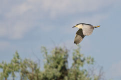Black-Crowned Night-Heron Flying in a Blue Sky Stock Photography