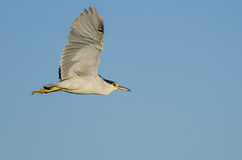 Black-Crowned Night-Heron Flying in a Blue Sky Royalty Free Stock Images