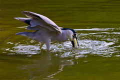 Black-crowned night-heron. Foraging Royalty Free Stock Photography