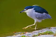Black-crowned night-heron. Foraging Stock Photography