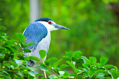 Black-crowned Night Heron in the forest,Thailand. Royalty Free Stock Image