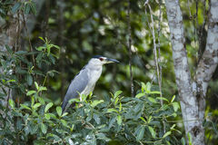 Black-crowned Night Heron Framed by Jungle Flora. The large red eye, typical of creatures that hunt at night, is visible on this Black-crowned night heron stock image