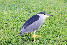 Black Crowned Night Heron on grass Royalty Free Stock Photo