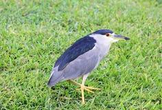 Black Crowned Night Heron on grass Royalty Free Stock Photo