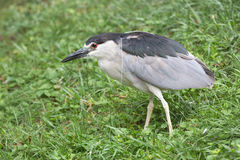 Black crowned night heron in grassy area. Stock Photography
