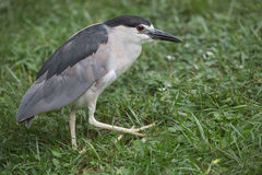 Black crowned night heron in grassy area. Royalty Free Stock Image
