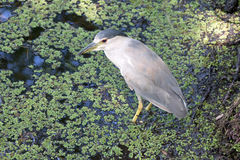 A Black Crowned Night Heron Stock Photo