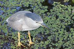 A Black Crowned Night Heron Royalty Free Stock Images