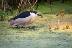 Black-crowned Night Heron in High Park, Toronto Stock Image