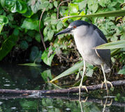 Black Crowned Night Heron Hunting. A black crowned night heron hunts in a pond by the Palace of Fine Arts in San Francisco Stock Photography