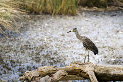 Free Black-Crowned Night Heron Immature Stock Photo - 20587120